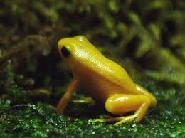 Golden Mantella Frog as seen at Deep Sea World