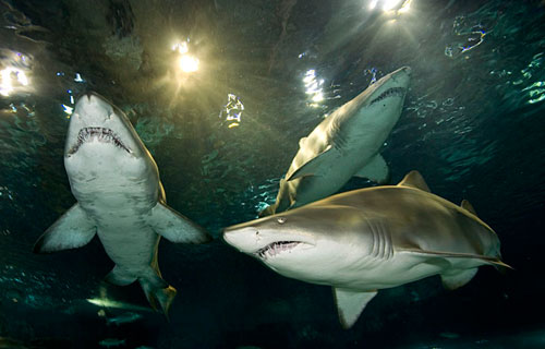 About Our Sharks
