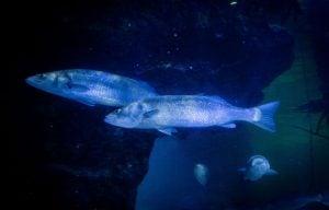 DEEP SEA WORLD WELCOMES 400-STRONG SEABASS SHOAL
