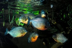 The Truth About Piranhas: South America's Most Misunderstood Fish