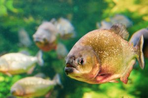 the truth about piranhas